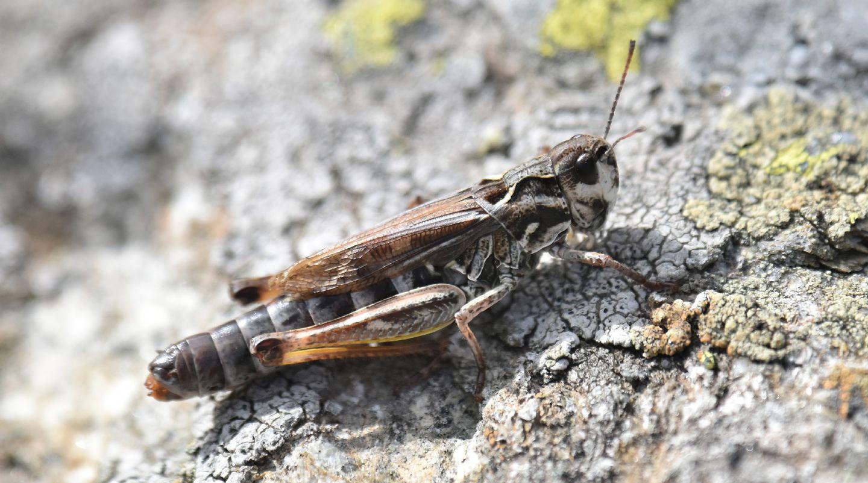 Ortottero alpino: Gomphocerus sibiricus, femmina