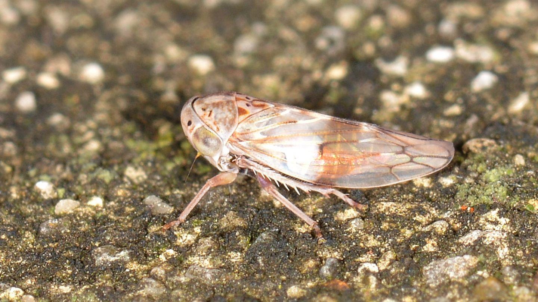 Cicadellidae: cfr. Idiocerus sp.