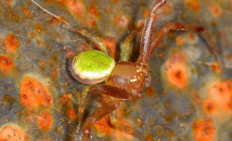 ragno verde: Ebrechtella tricuspidata, maschio - Paullo (MI)