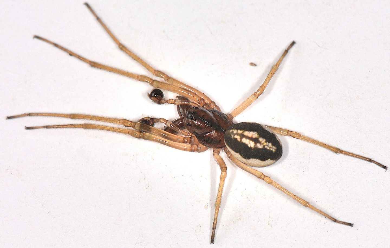 Maschio di Pachygnatha clercki - Mediglia (MI)