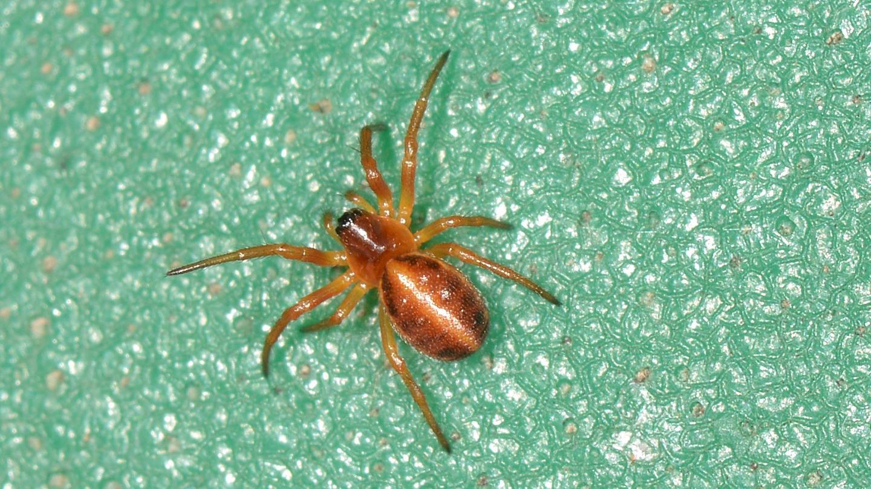 ragno rossiccio: Hypsosinga heri - Paullo (MI)