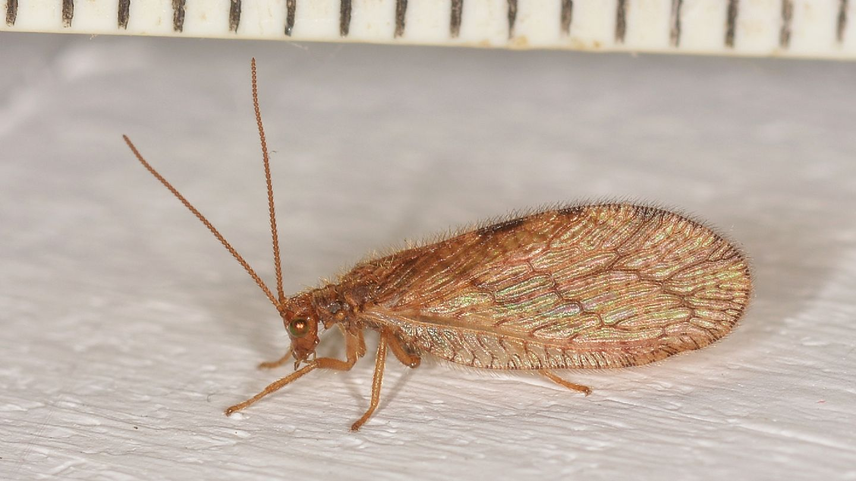Hemerobiidae: Micromus angulatus