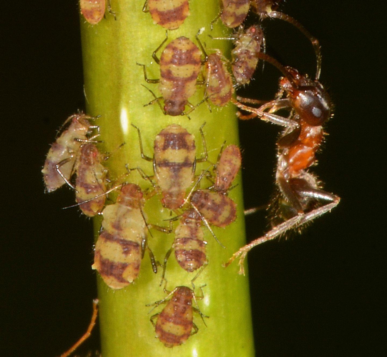 Afidi su pioppo giovane: Chaitophorus populeti