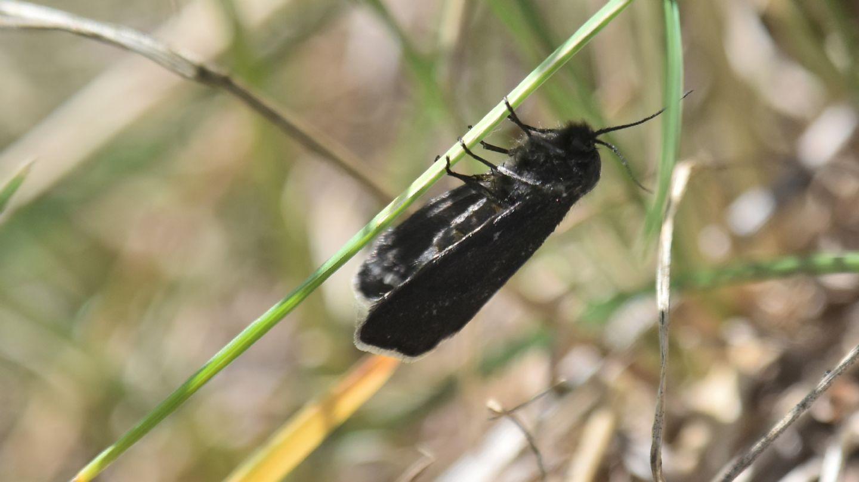Farfalla nera: Typhonia ciliaris - Psychidae