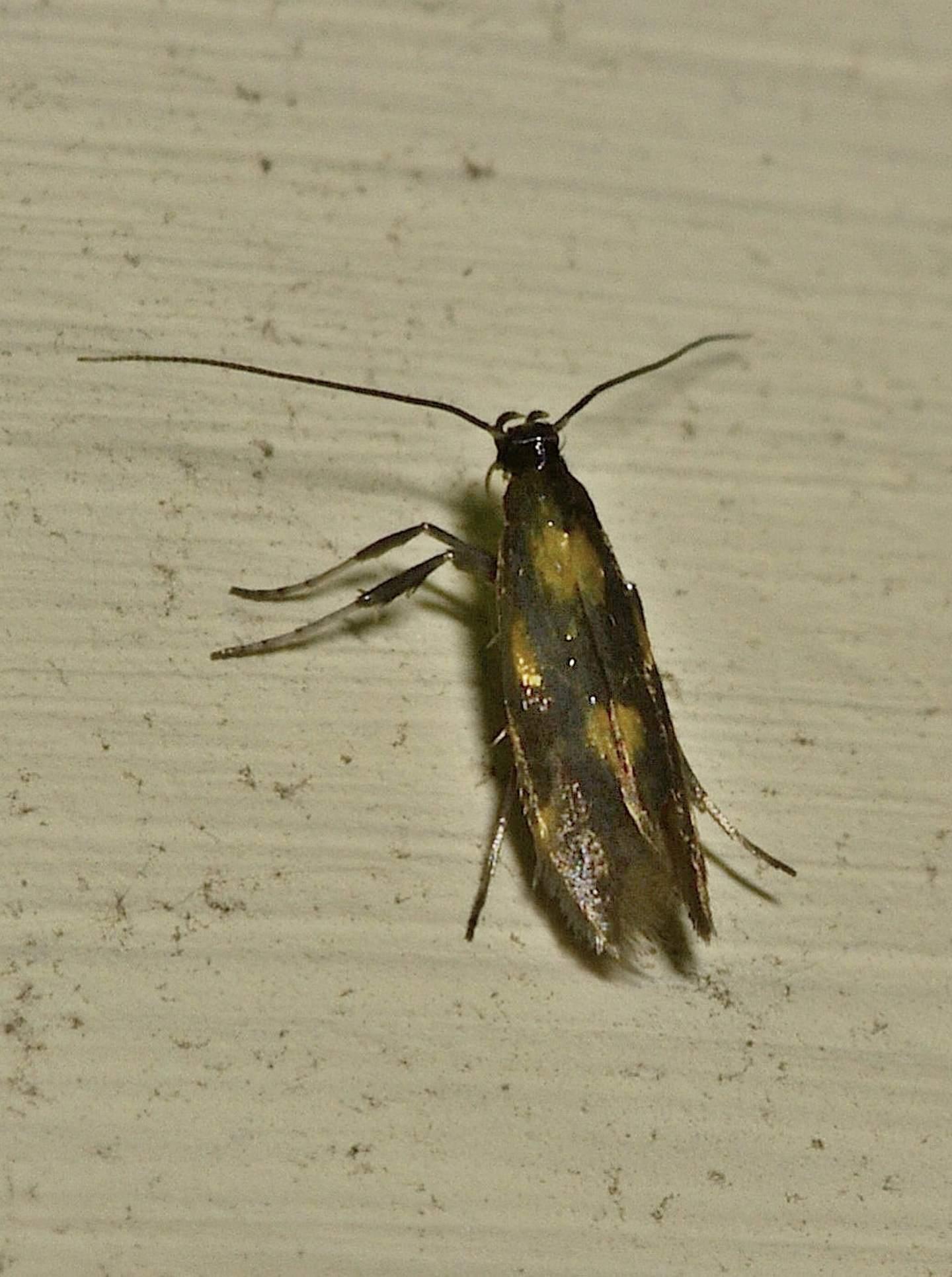 Euspilapteryx auroguttella - Gracillariidae