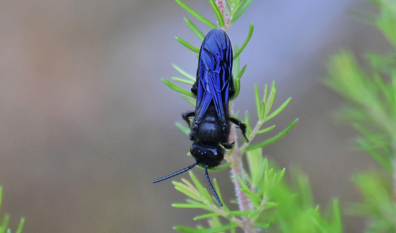 Apidae Andreninae: Andrena pilipes, maschio