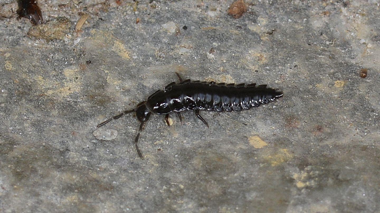 larva di Silphidae.
