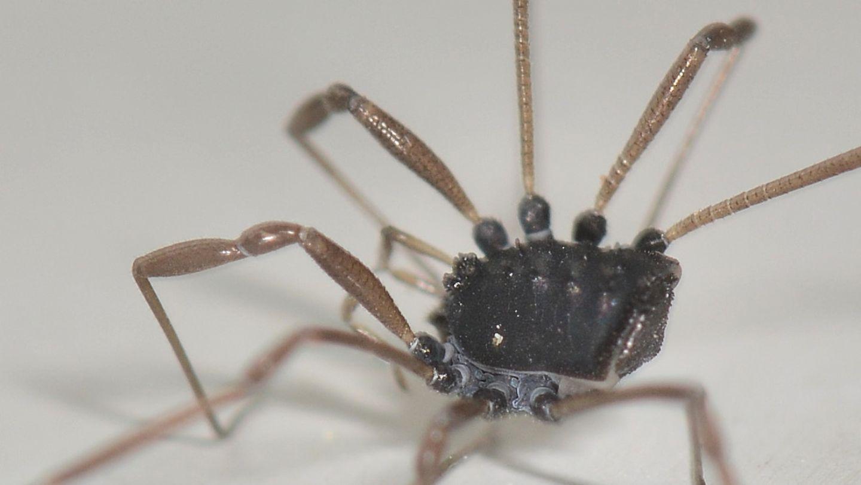 Histricostoma dentipalpe (Nemastomatidae)