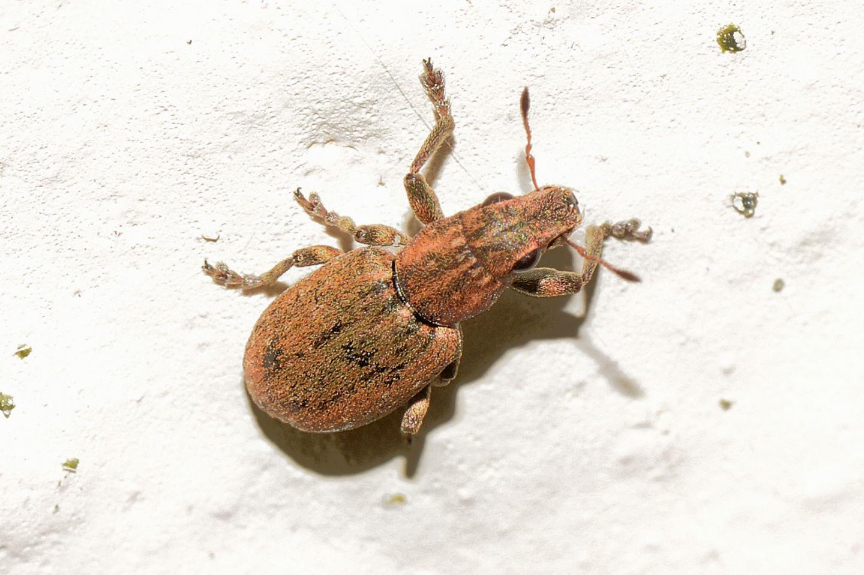Curculionidae: Sitona puncticollis? Sì.