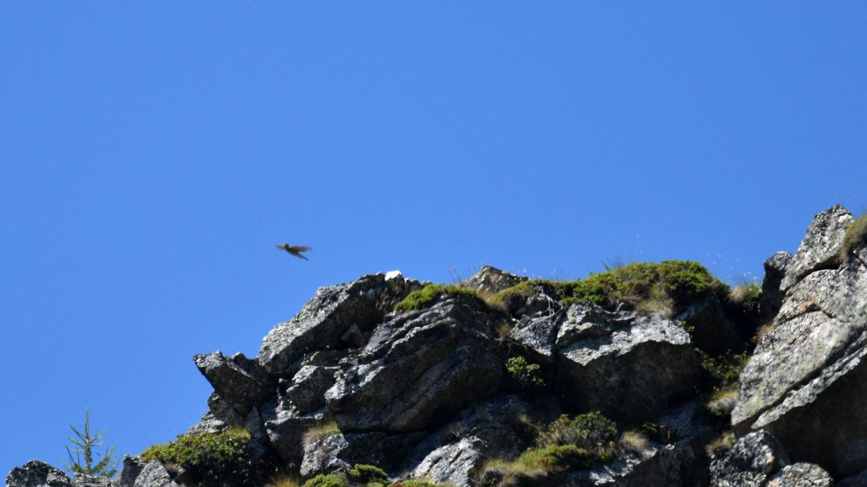 Rapace ... lontano:  Sparviere (Accipiter nisus)