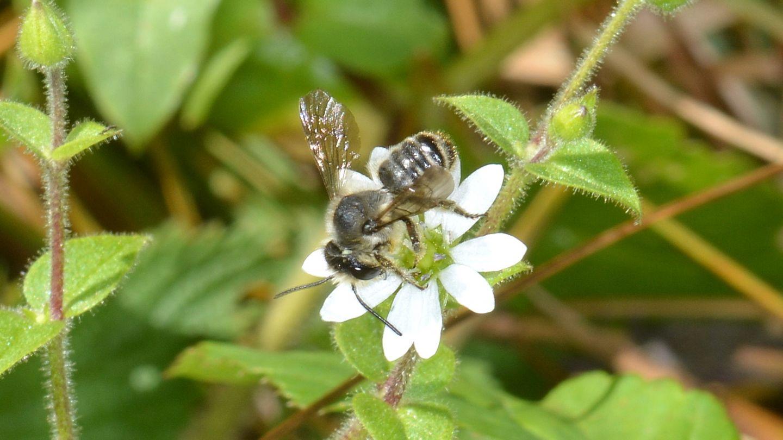 Apidae Megachilinae: Megachile sp., maschio