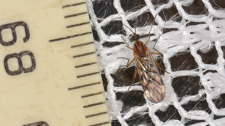 Anisopodidae: Sylvicola sp.