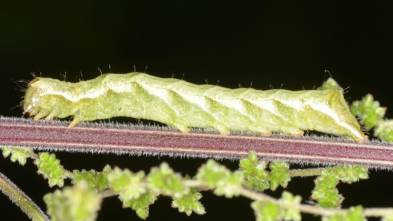 Larva su ortica: Melanchra persicariae - Noctuidae