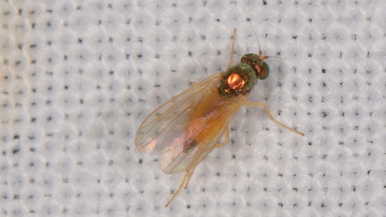 Dolichopodidae: cfr. Chrysotimus molliculus