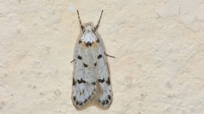 Symmoca signella - Autostichidae