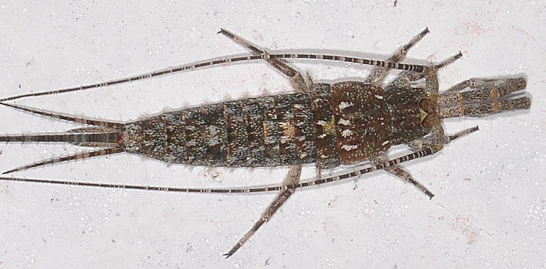 Microcoryphia da id
