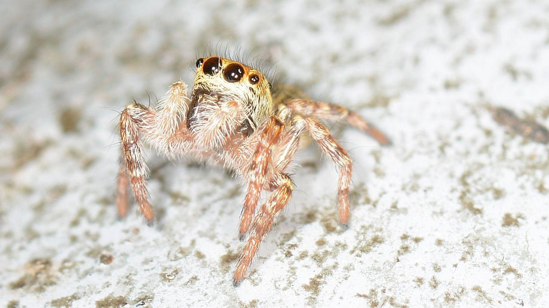 Salticidae