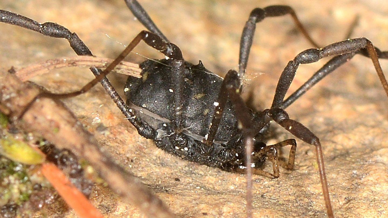 Paranemastoma quadripunctatum - Nemastomatidae