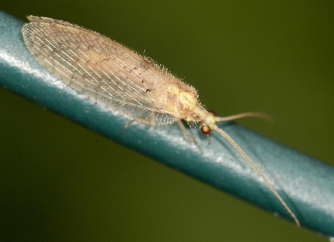 Hemerobiidae: Hemerobius  sp.