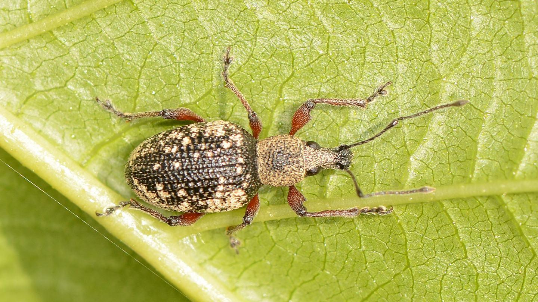 Curculionidae: Otiorhynchus lepidopterus