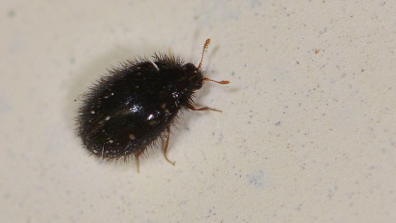 Dermestidae villoso: Trinodes hirtus, femmina