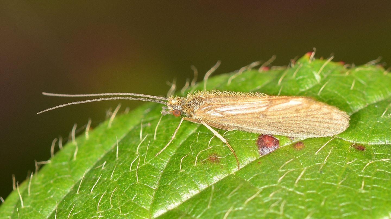 Tricottero villoso -  Rhyacophilidae: Rhyacophila sp. (cfr.)