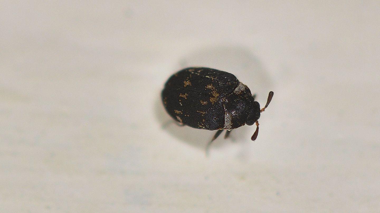 Dermestidae: Anthrenus fuscus