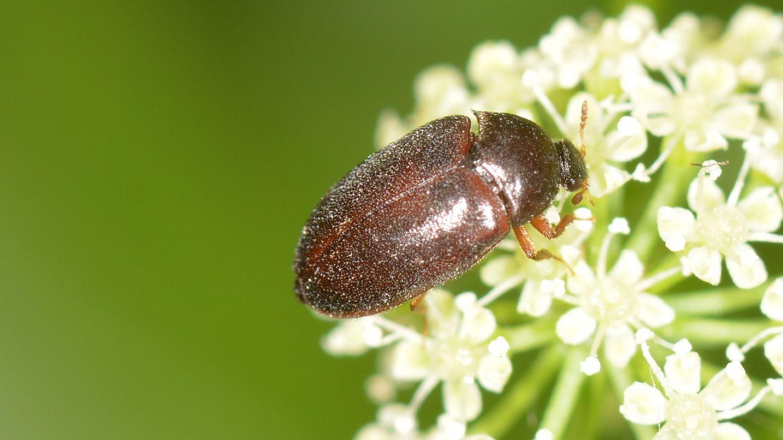 Dermestidae: Attagenus brunneus