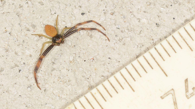 Thomisidae: Misumena vatia, maschio - Bannio Anzino (VCO)