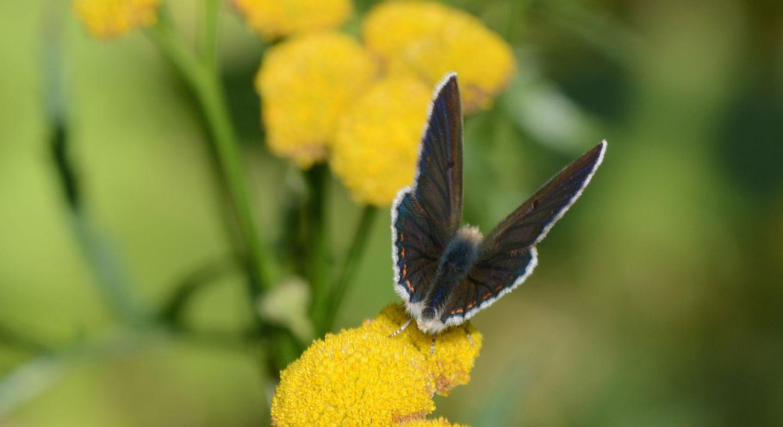 Lycaenidae: Aricia artaxerxes