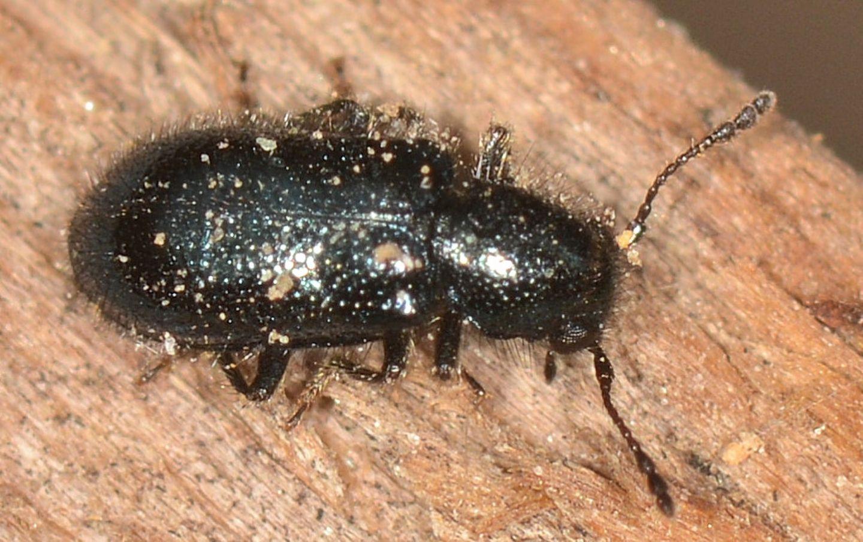 Cleridae: Korynetes sp.