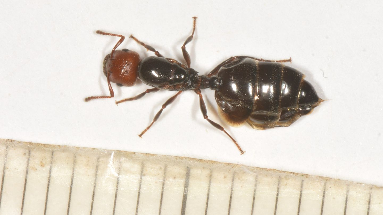 Formicidae: Crematogaster sp., regina