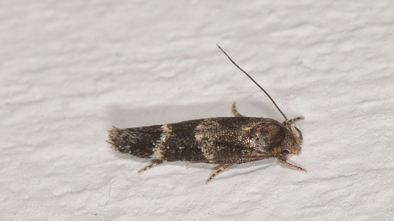 Mompha subbistrigella - Momphidae
