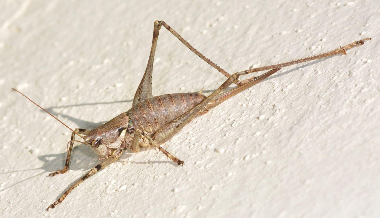 Tettigonniidae: Antaxius (Chopardius) pedestris