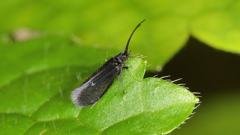Tricottero nero - Psychomyidae: Lype  sp.