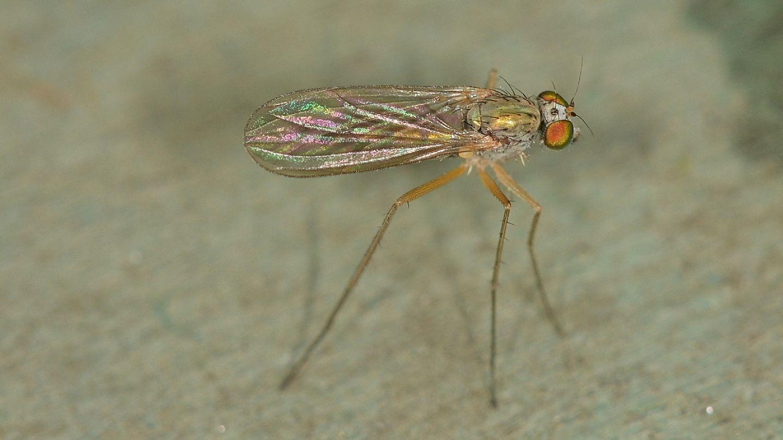 Dolichopodidae: Sciapus sp.