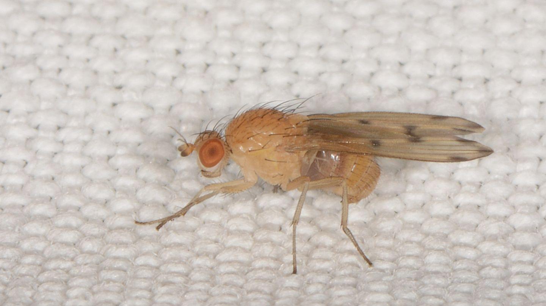 Lauxaniidae: Meiosimyza decempunctata