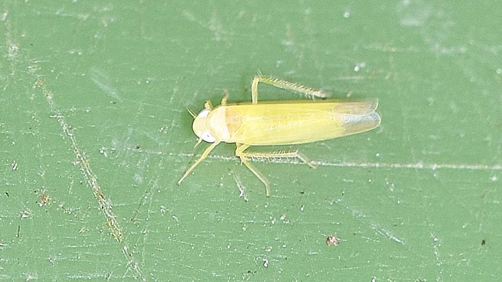 Cicadellidae Typhlocybinae (genere non determinabile)