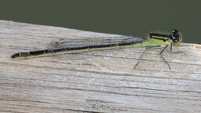 Ischnura elegans f. autocroma, femmina