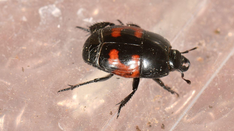Histeridae: Hister quadrimaculatus
