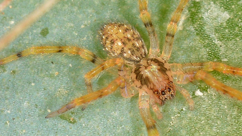 Zoropsis sp., giovanissima - Mediglia (MI)