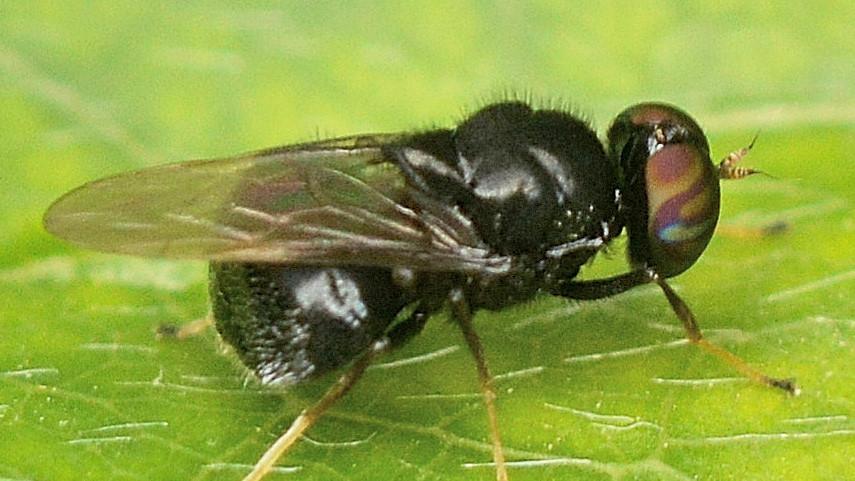 Berkshiria ?... Stratiomyidae sp.