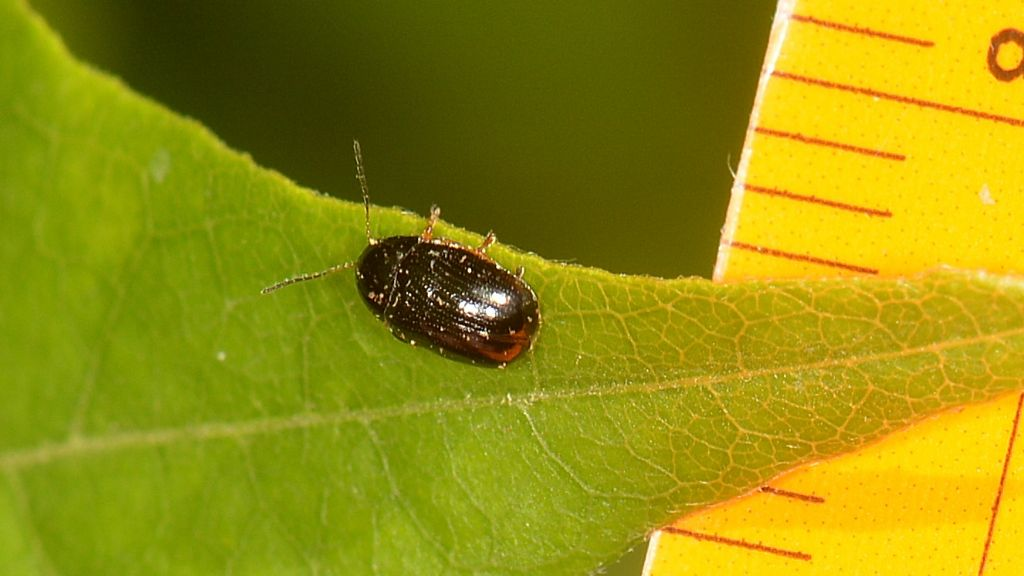Chrysomelidae: Cryptocephalus sp.