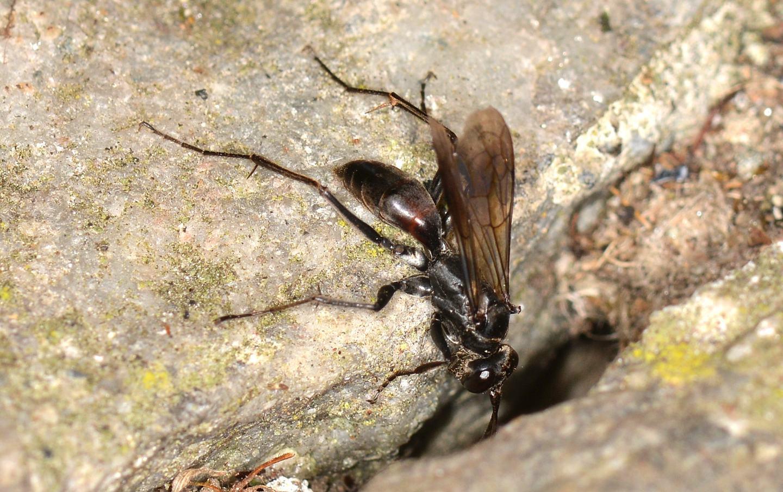 altro Pompilidae: Auplopus cfr. albifrons