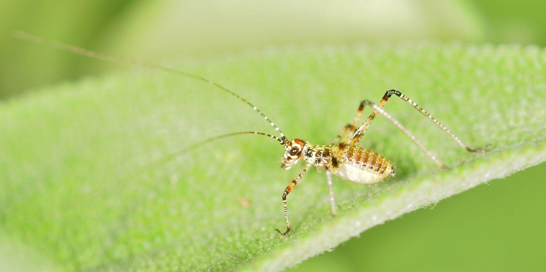 neanide di Phaneropteridae: cfr. Phaneroptera sp.