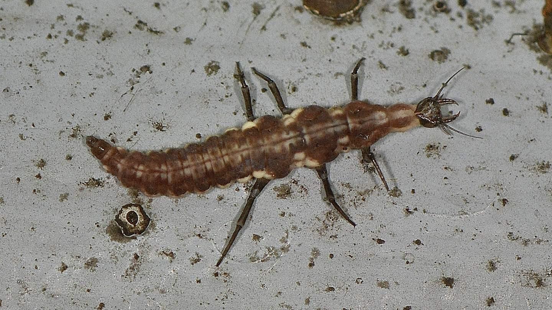 larva di Hemerobiidae. : Drepanepteryx sp.