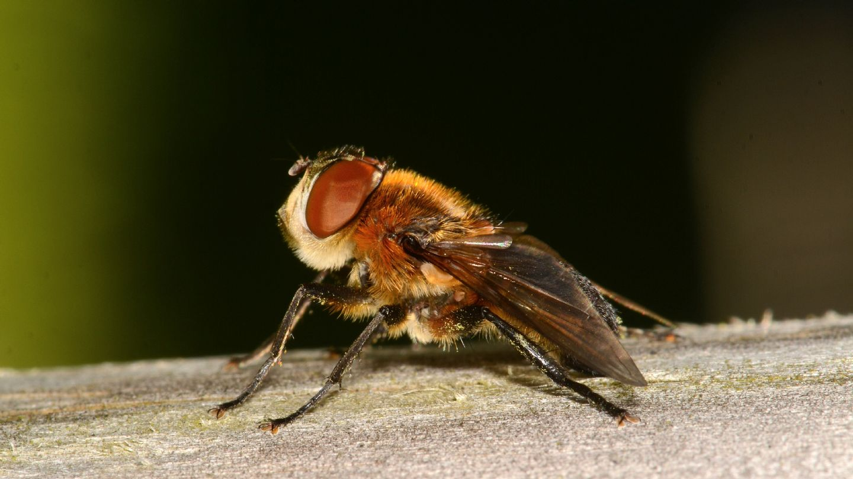 Tachinidae: cfr. Phasia hemiptera