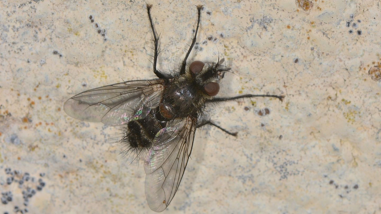 Tachinidae: cfr. Blepharipa sp., maschio