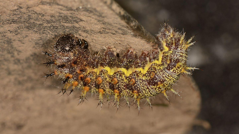 larva Nymphalidae. Vanessa atalanta