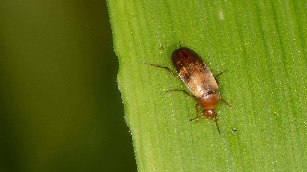 Scraptiidae: cfr. Anaspis sp.